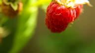 Close up of ripe raspberry video