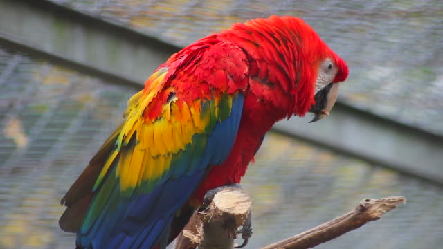 Close Up Of Scarlet Macaw video