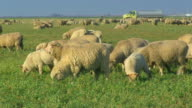 Close Up of Sheep Grazing in Pasture video