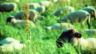 Close up of sheep grazing on a field of farmland video