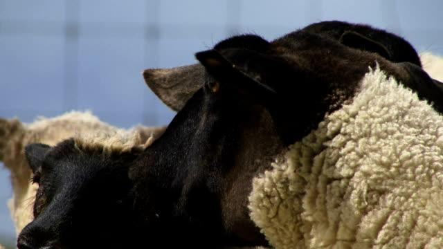 Close up of sheep video