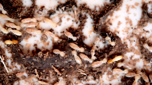 Close up of termites or white ants video