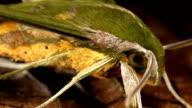 Close up of the head a hawk moth (Sphingidae) video