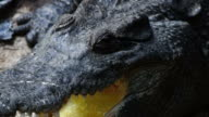 Close up of the Head and Teeth of a S. E. Asian Crocodile. video