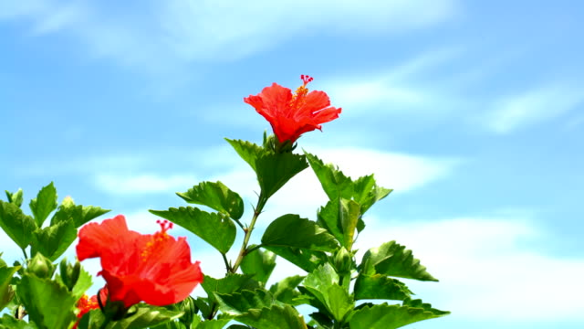 close up of the hibiscus video
