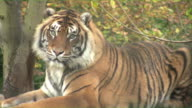 Close up of Tiger turning to stare at camera video
