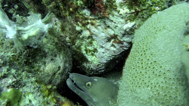 Close Up of Tropical Green Eal off the coast of Cape Verde video