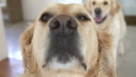 Close Up Of Two Golden Retriever Dogs Looking At Camera video