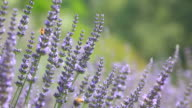 Close up of violet lavenders flowers - HD1080P video