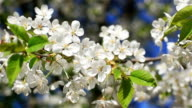 Close up of white cherry flowers blossoming on branches of a tree trembling in wind on a sunny spring day at light blurry blooms background - rotation to the right video