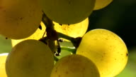 HD: Close Up Of White Grapes video