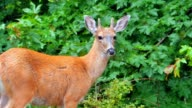 Close Up of White-tailed Deer video