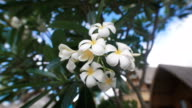 Close up of wonderful blooming tropical flower of frangipani tree. Image of plumeria inflorescence with indescribable delicate aroma video
