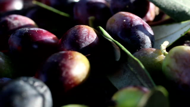 Close up - Olives harvesting in a field in Italy video