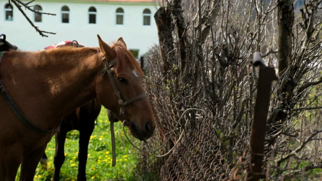 Close up on chestnut horse grazing video