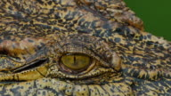 Close up on eye Crocodile. video