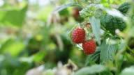 Close Up on Raspberry Bush video