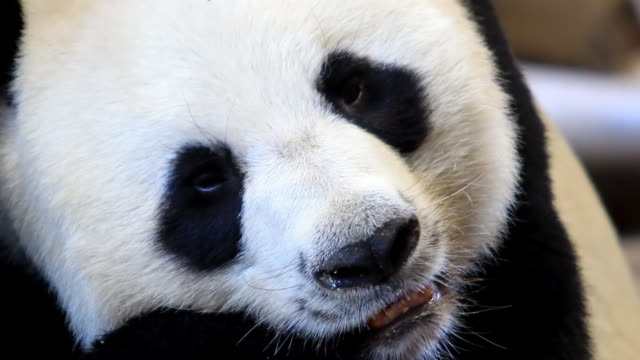 Close up Panda video