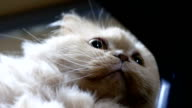 Close up persian cat head staring at people video