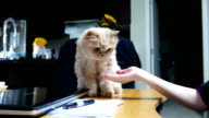 Close up persian cat shaking hand with people on table video