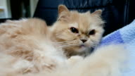 Close up persian cat washes and licks paw video