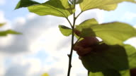 Close up picking leaves from mulberry trees for silk production. video