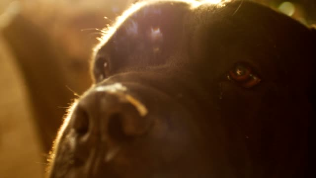 Close up Portrait a Dog Cane Corso with beautiful sun flare video