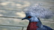 Close Up Portrait Of A Southern Crowned Pigeon video