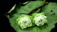 close up: put folded lotuses on leaf video
