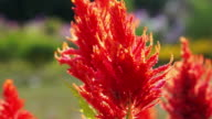 Close up red Celosia, Plumed Celosia, Wool Flower with morning sun video