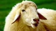 close up sheep face video