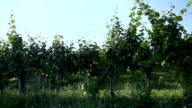 Close up shoot of passing by the vineyard. video