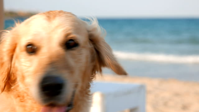 Close up shot of a beautiful golden retriever dog relaxing on the beach video