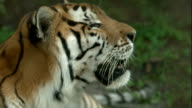 Close Up shot of a Bengal Tiger Looking Around video