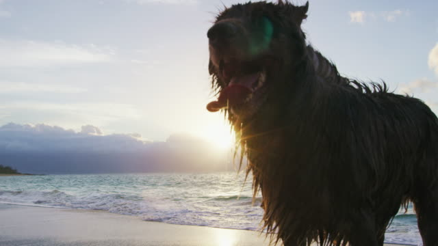 Close Up Shot of an Australian Shepherd. Dog at the Beach video