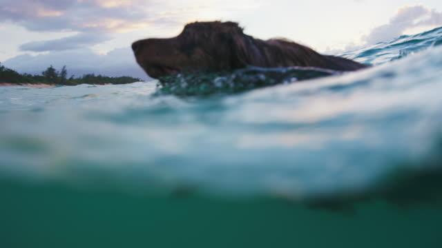 Close Up Shot of an Australian Shepherd Swimming in the Blue Ocean video