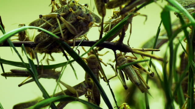 close up shot of locusts eating crops nature disaster video