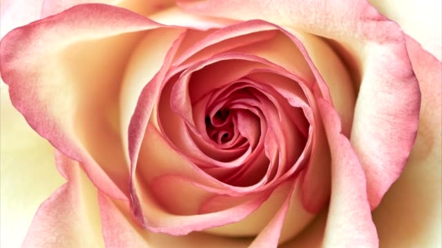 Close up shot of pink rose video