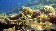 HD: Close Up Shot Of Pufferfish video