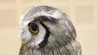 Close up shot of Small Northern white-faced owl. Beautiful yellow shiny eyes and grey feathers video
