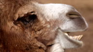 Close up side face portrait of a chewing camel. video
