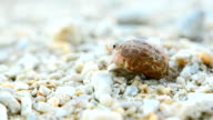 close up: small and tiny Hermit crab start walking video