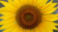 close up Sunflower video