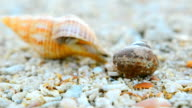 close up: tiny Hermit crab walk out from big hermit crab video