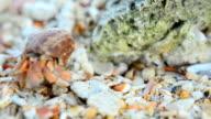 close up: tiny Hermit crab walk video