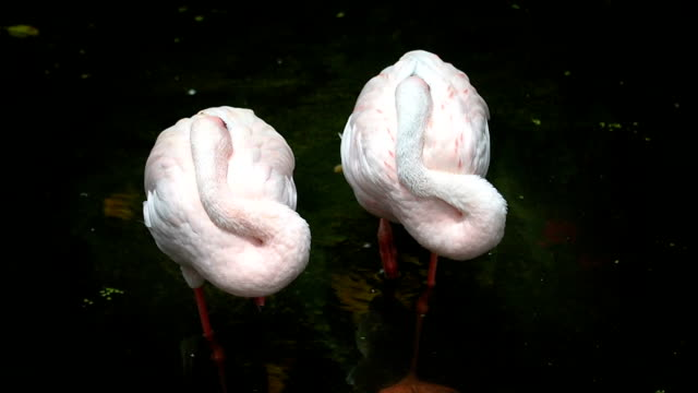 Close up two lesser flamingo standing. video