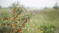 Close up view of buckthorn bushes waving in wind video