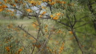 Close up view of buckthorn in bloom video