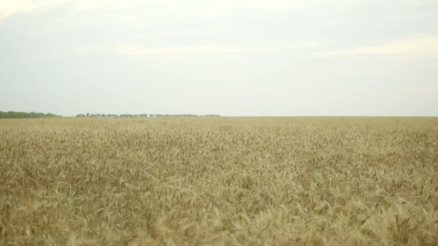 Close up view of golden wheat field. Slowmotion shot video