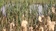Close up view of grass growing on pond shore video